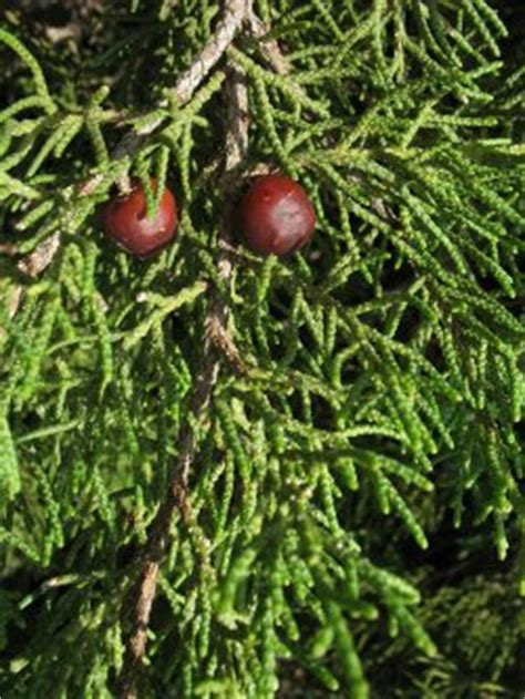 Wild Plants of Malta - Index of plants with Inconspicuous